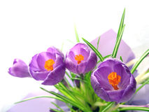 Crocus. Purple crocus virtical layout with leaves Royalty Free Stock Images