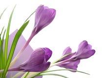 Crocus. Purple crocus virtical layout with leaves Stock Image