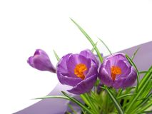 Crocus. Purple crocus virtical layout with leaves Royalty Free Stock Photo