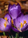 Crocus #2 Royalty Free Stock Images