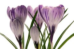 Crocus. Isolated crocus over white background Stock Images