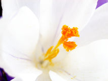 Crocus 21 Royalty Free Stock Photos
