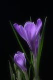 Crocus. The beautiful spring violet flower Stock Photos