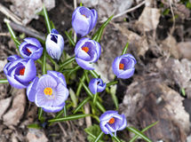 Crocus Royalty Free Stock Photos