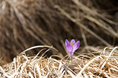 Crocus. In it's natural environment Stock Photos