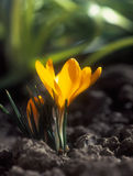 Crocus. Royalty Free Stock Photos