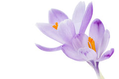 Crocus. Spring Crocus (Crocus albiflorus) flower Stock Photo