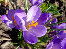 Crocus Photos stock