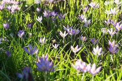 Crocus Royalty Free Stock Photo