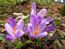 Crocus. Spring crocus Royalty Free Stock Image