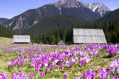 Crocus. First crocuses in the Valley Chocholowska,Poland Royalty Free Stock Photo