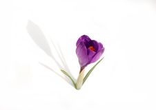 Crocus. Isolated on white background Royalty Free Stock Photography