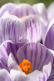 Crocus. A close-up photo of crocus. Floral background Stock Photo