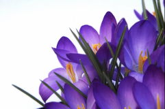 Free Crocus Royalty Free Stock Images - 669259