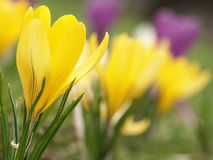 Free Crocus Stock Photography - 675442