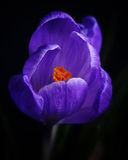 Crocus stock photos