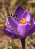 Crocus. Purple crocus and an insect Stock Images