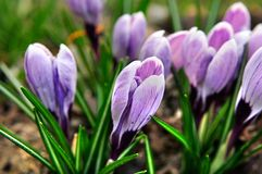Crocus. Beautiful purple crocus into a sunny day Stock Photography