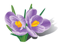 Crocus royalty free illustration