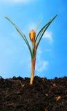 Crocus against blue sky. Crocus flower against a blue sky background Royalty Free Stock Photos