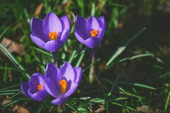 Free Crocus At Early Spring Royalty Free Stock Photo - 68422255