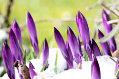 Crocus are attacked by snow. New buds of crocus are attacked by snow (manual focus Stock Photography