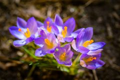 Crocus au printemps Photographie stock libre de droits