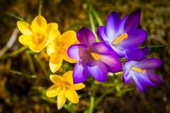 Crocus au printemps Photos libres de droits