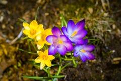 Crocus au printemps Photo stock