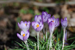 Crocus au printemps Photo libre de droits