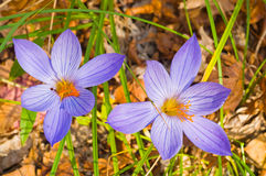 Crocus the autumn wood. Royalty Free Stock Photos