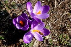 Crocus and bee Royalty Free Stock Photos