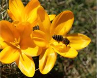 Crocus and bee. Stock Images