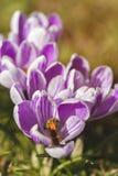 Crocus - bee Stock Image