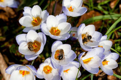 Crocus and bees in spring. Bees collecting pollen from Crocus in spring Stock Images