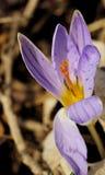 Crocus biflorus Royalty Free Stock Photo