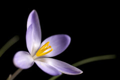 Crocus with black background Royalty Free Stock Photos