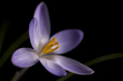 Crocus with black background Royalty Free Stock Images
