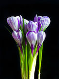 Crocus on the black background Royalty Free Stock Image