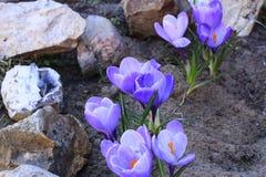 Crocus bleu Photographie stock libre de droits