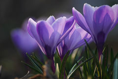 Crocus bleu photo stock