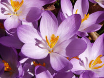 Crocus in Bloom. Early crocus - spring background Royalty Free Stock Images