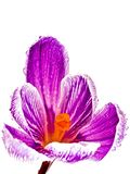 Crocus. Bloom against a white background Stock Photo