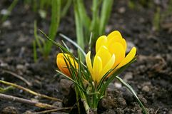 Crocus bloom Royalty Free Stock Image