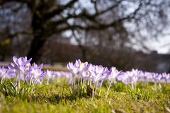 Crocus bloom Stock Photos