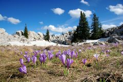 Crocus bloom at spring. Crocus bloom in the mountains after the snow had melt royalty free stock photography