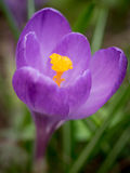 Crocus in bloom Royalty Free Stock Photography