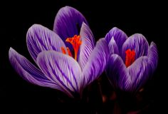 Crocus, Bloom, Spring, Close Royalty Free Stock Photography