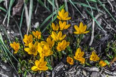 Crocus bloom in the spring. Spring is coming, first flowers royalty free stock images