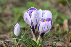 Crocus blooming. First spring flowers Royalty Free Stock Photos